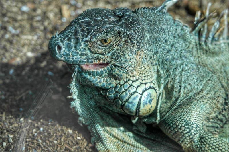 Iguana verde no parque de Loro imagem de stock royalty free