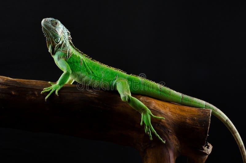 Iguana verde no ramo imagem de stock royalty free