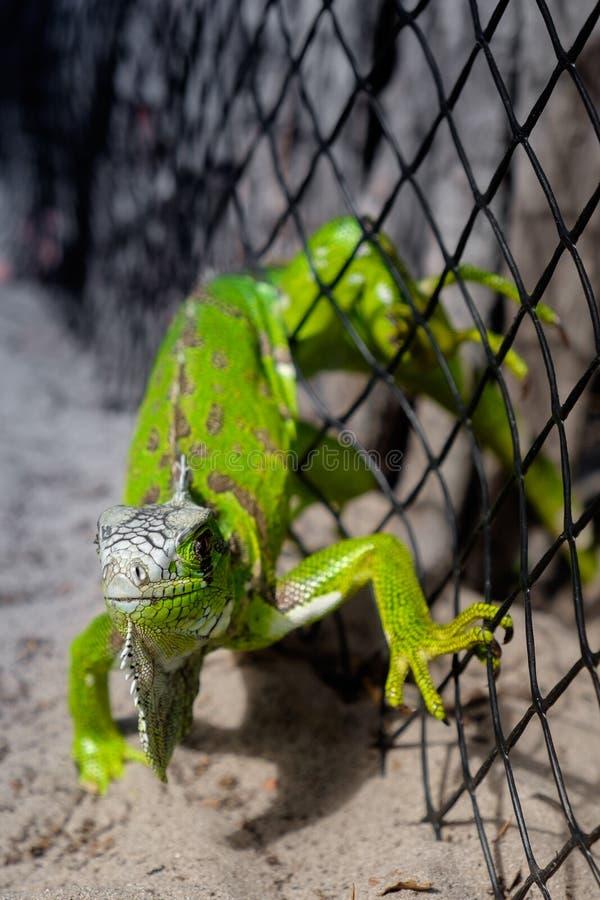 Iguana verde prendida em uma cerca do malha-fio fotos de stock
