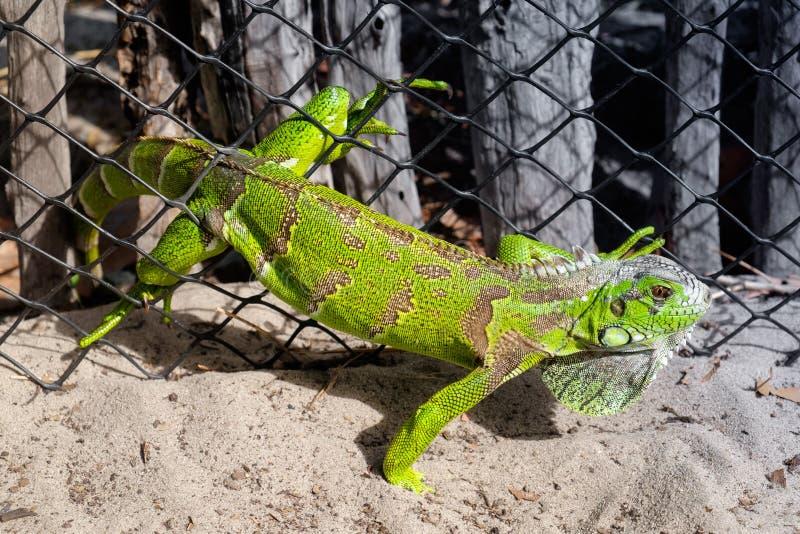 Iguana verde prendida em uma cerca do malha-fio imagens de stock