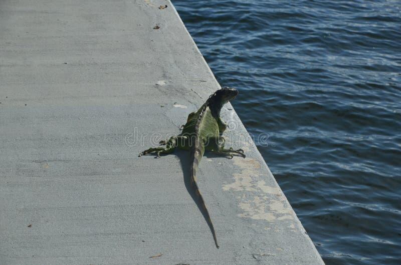 Iguana verde répteis foto de stock royalty free