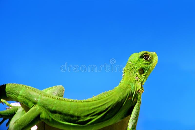 Iguana verde sobre o céu azul fotos de stock royalty free