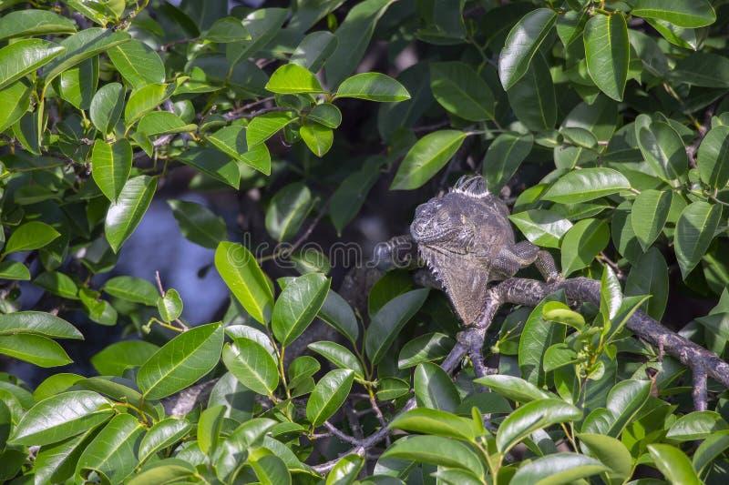 Iguana verde solitária fotografia de stock royalty free
