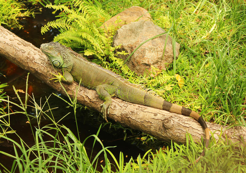 Iguana verde su una filiale immagini stock libere da diritti