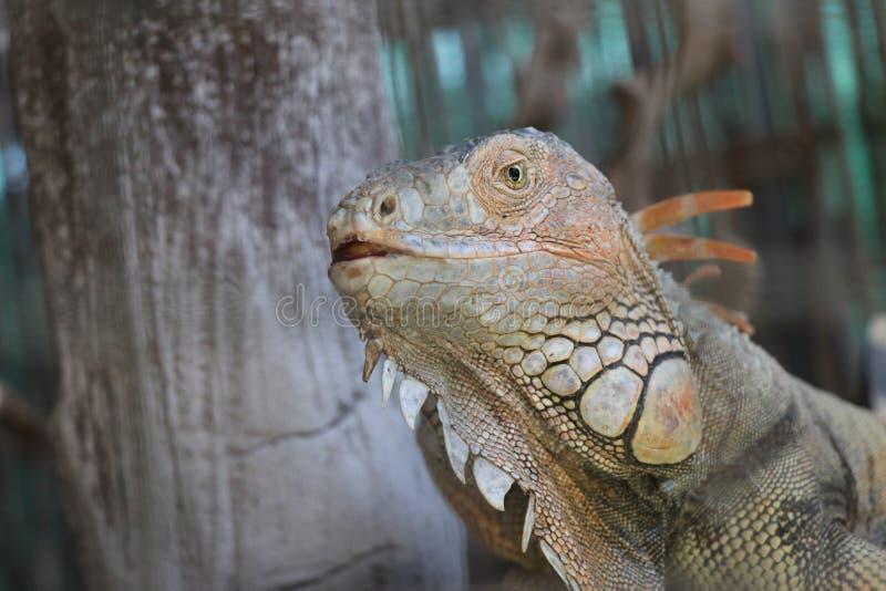 Iguana vermelha fotos de stock