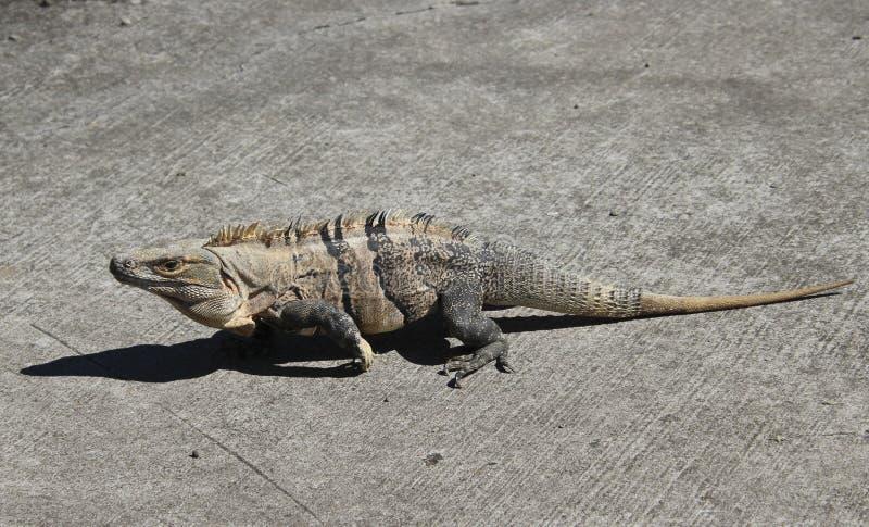 Iguana w gorącym słońcu obrazy royalty free