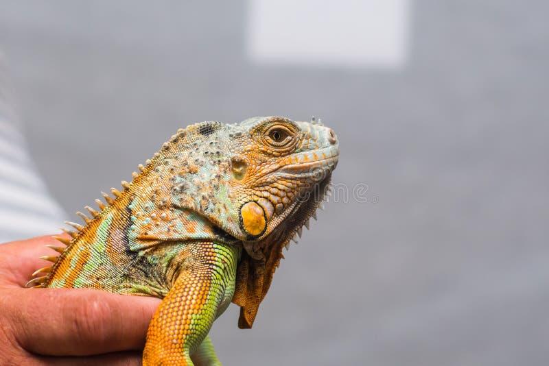 Iguana w mężczyzna ` s ręce zdjęcia stock