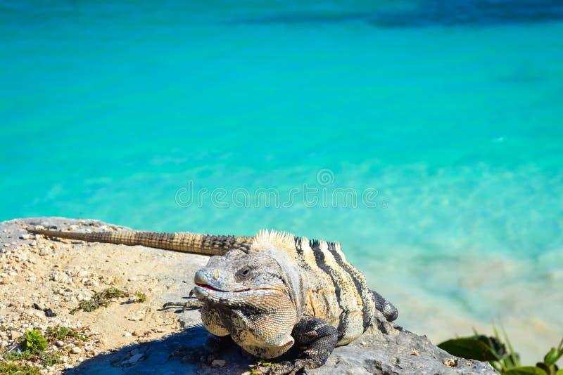 Iguana w Tulum z morzem karaibskim Riviera majowie Meksyk zdjęcie royalty free