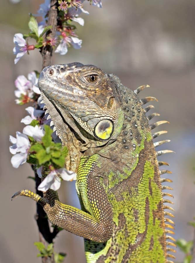 Download Iguana at walk stock image. Image of crest, environment - 24472623