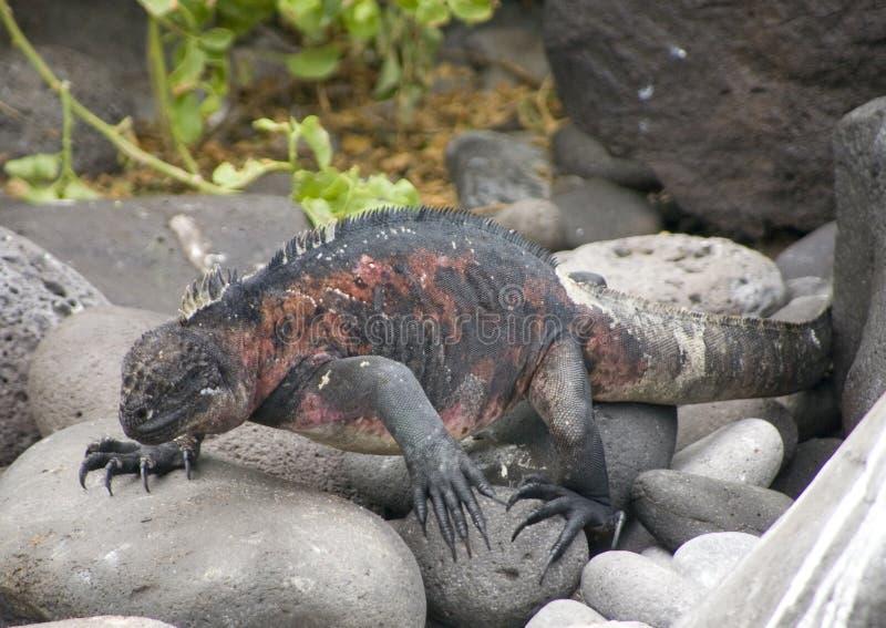 Download Iguana walking stock photo. Image of swimming, ugly, marine - 2808946