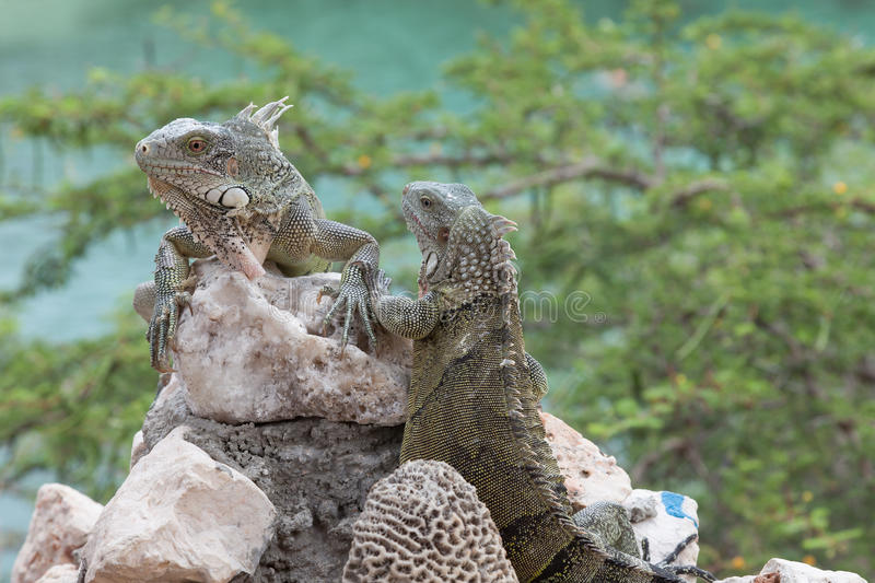 Download Iguana on a wall stock image. Image of caribbean, reptile - 39507357