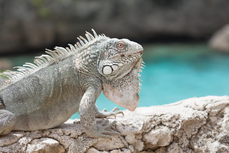 Download Iguana On A Wall With The Sea Stock Image - Image of caribbean, curacao: 39507537