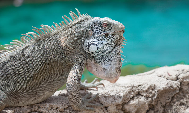 Download Iguana On A Wall With The Sea Stock Image - Image of green, netherland: 39507609