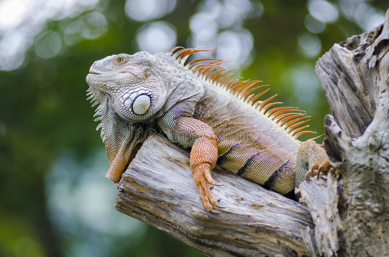 Iguana. Woody Dragon. Green iguana on twisted tree branch royalty free stock photography