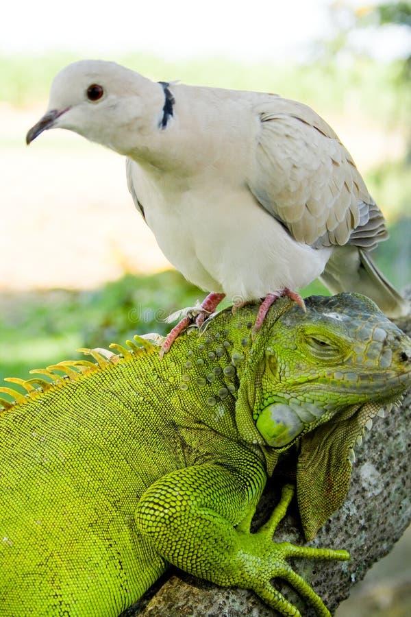 Iguana y paloma foto de archivo libre de regalías
