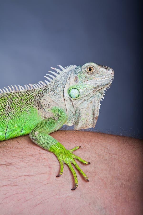 iguana zielony portret zdjęcie royalty free