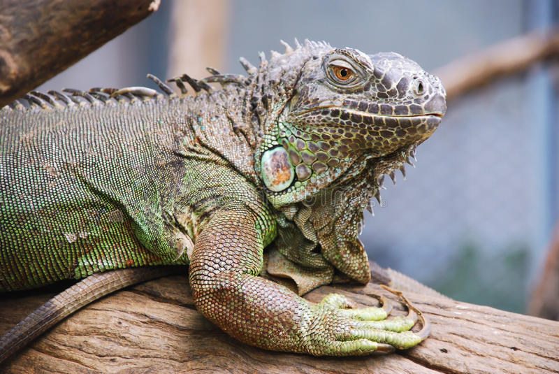 Iguana in the zoo royalty free stock photo