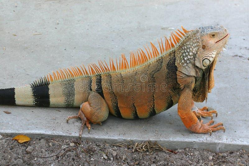 Iguana2 fotografía de archivo