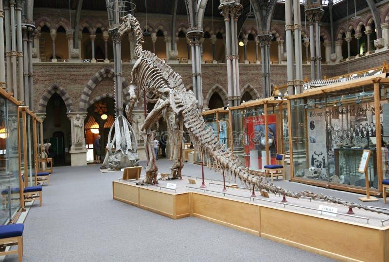 Iguanadon, Oxford-Naturgeschichtemuseum lizenzfreies stockbild