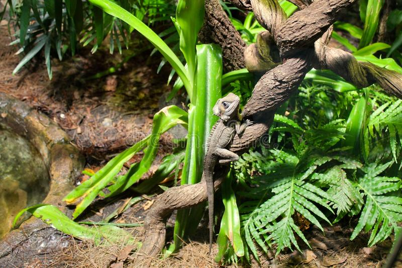 Iguanas comunes fotos de archivo