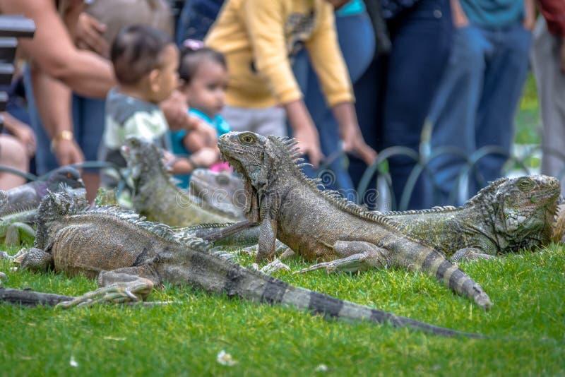 Iguanas en el parque de las iguanas del parque de Seminario - Guayaquil, Ecuador fotografía de archivo libre de regalías