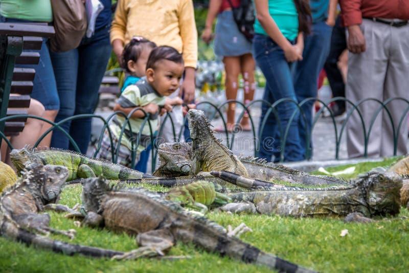 Iguanas en el parque de las iguanas del parque de Seminario - Guayaquil, Ecuador imagen de archivo libre de regalías
