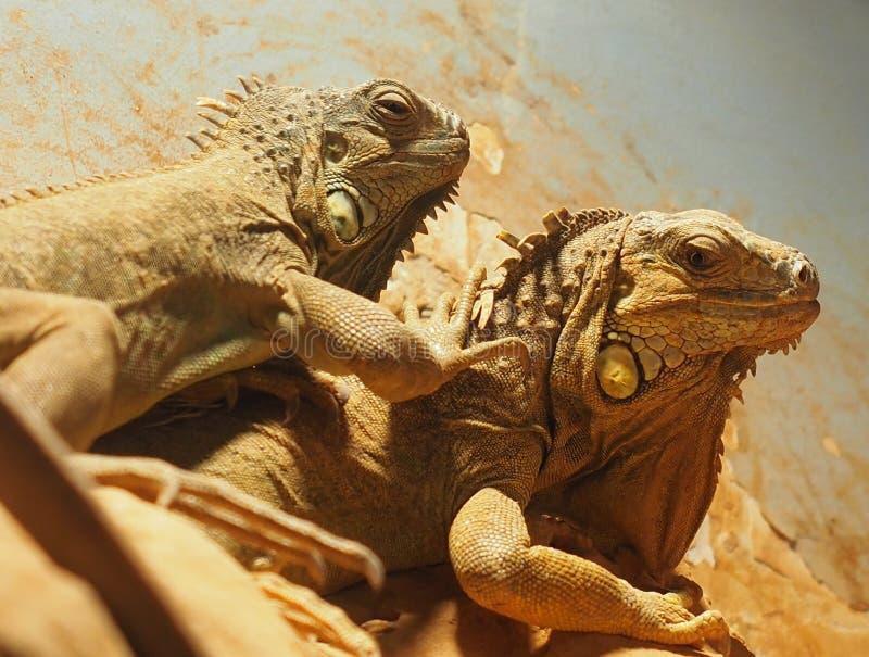 Iguanas en Heraklion Grecia fotografía de archivo