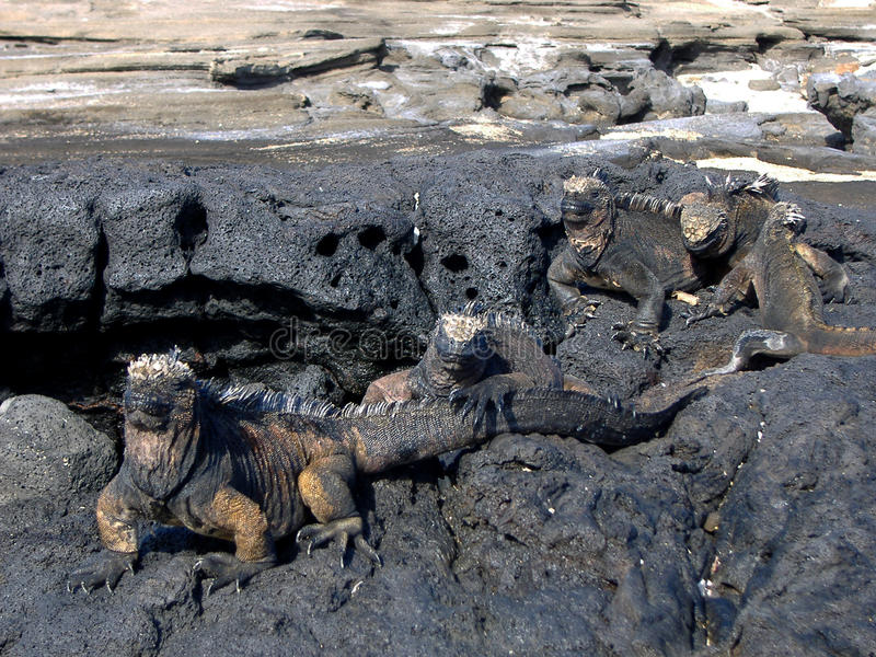 Iguanas en las islas de las Islas Gal3apagos fotografía de archivo libre de regalías