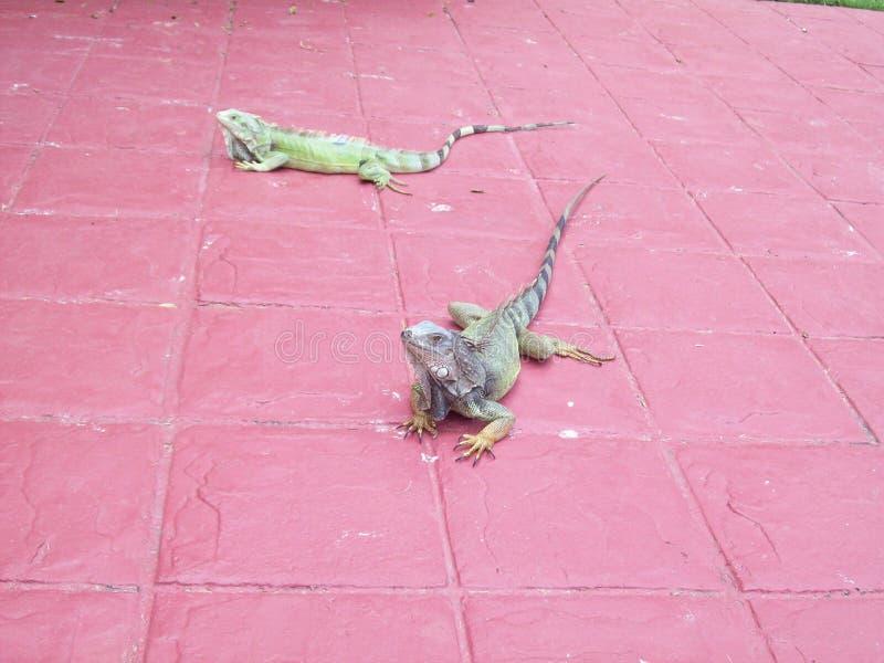 Iguanas Enjoying the Warmth arkivfoton