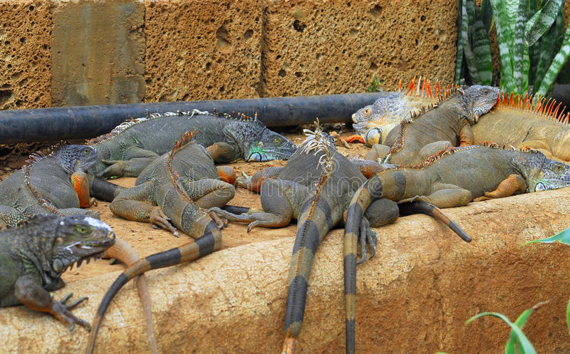 Download Iguanas laying stock photo. Image of park, leather, preservation - 13193098