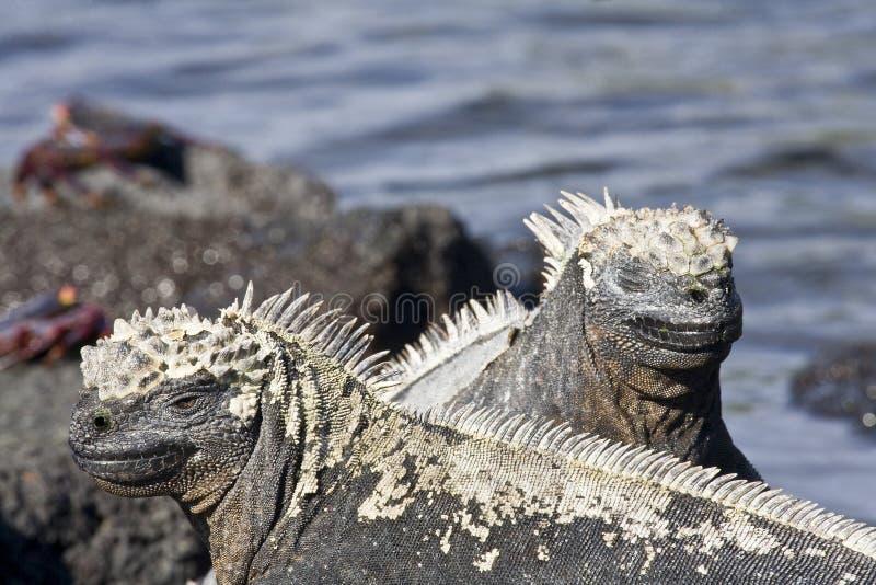 Download Iguanas marinhas imagem de stock. Imagem de rochas, lava - 12813871
