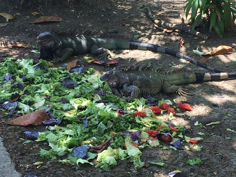 Iguanas sharing lunch royalty free stock image