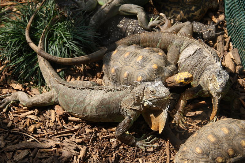 Iguanas and the turtle royalty free stock photos