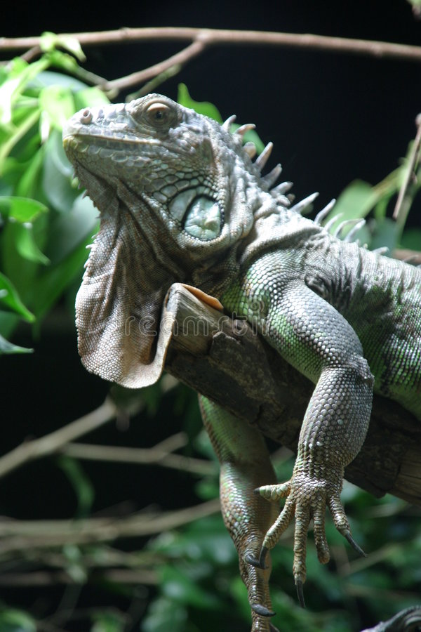 Iguanas verdes fotografia de stock royalty free