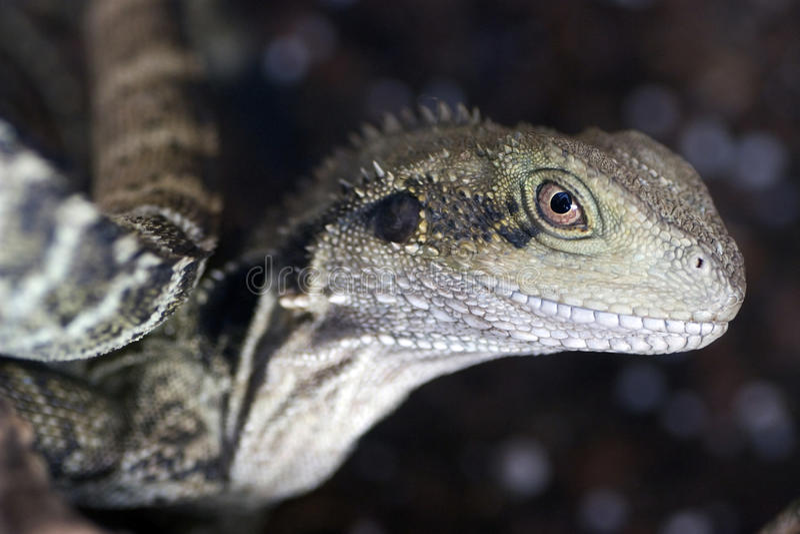 Iguane photo stock