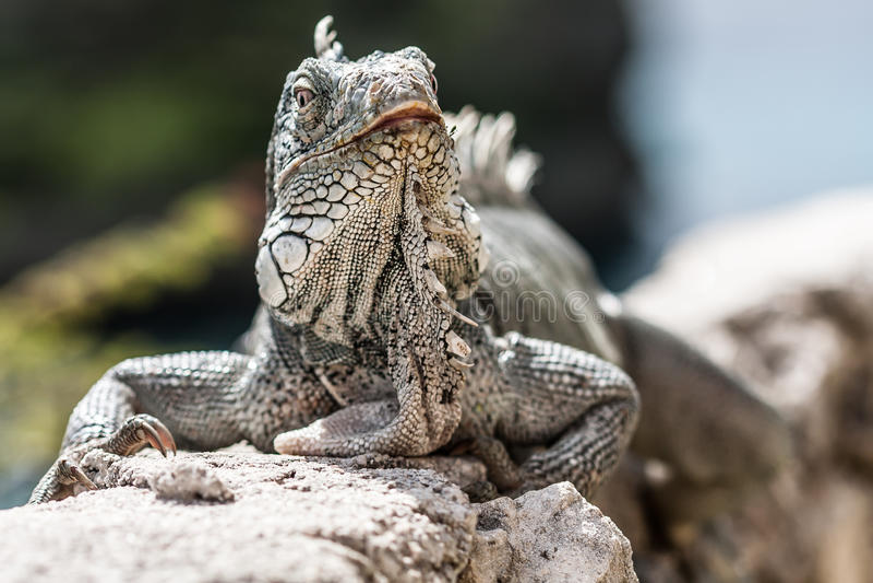 Iguane photographie stock libre de droits