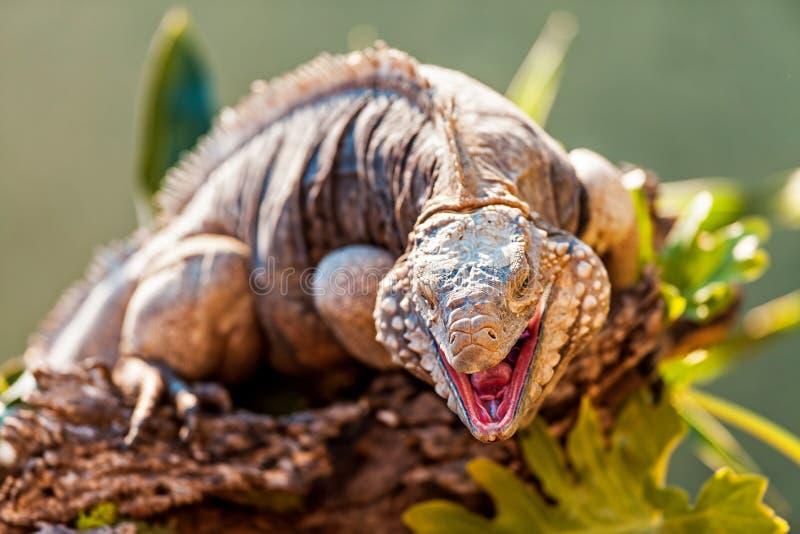 Iguane agressif de Grand Cayman sur la branche image stock
