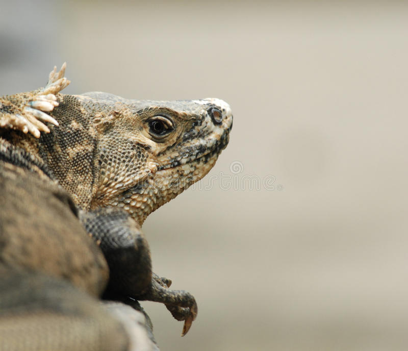 Iguane au Costa Rica image stock