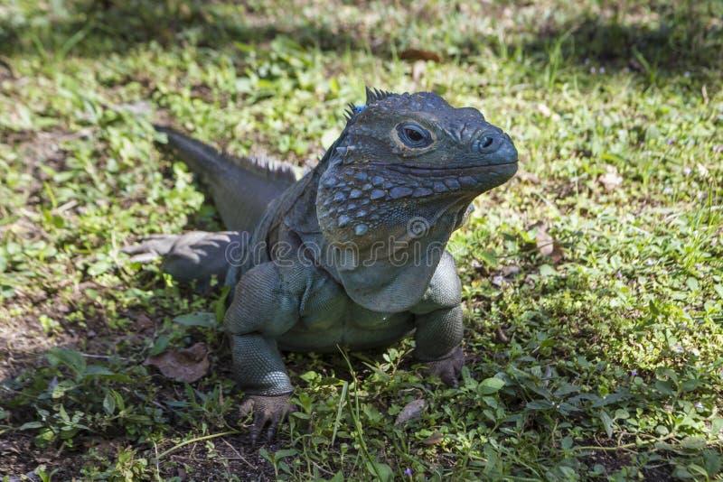 Iguane bleu masculin à l'ombre photo stock