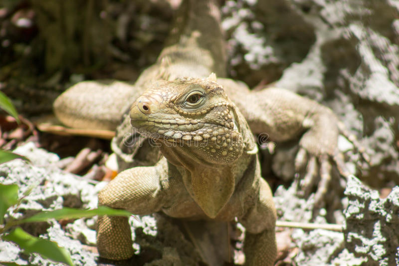 Iguane caïmanais de roche photographie stock