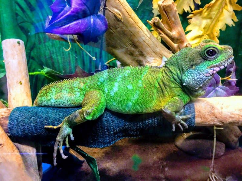 Iguane coloré photographie stock