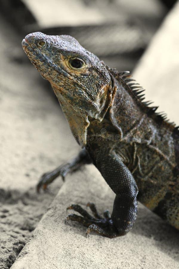 Iguane (Costa Rica) photo libre de droits