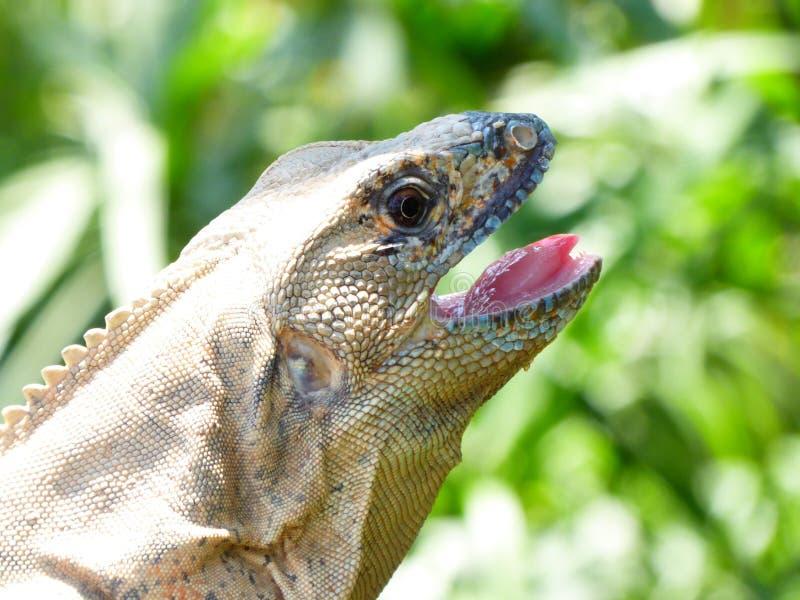 Iguane coupé la queue épineux avec la bouche ouverte image stock