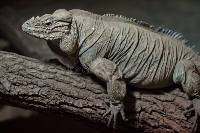 Iguane Cyclura Cornuta de rhinocéros photographie stock libre de droits