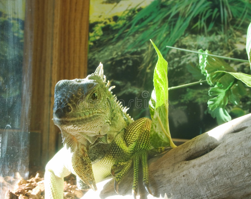 Iguane D Animal Familier Images libres de droits