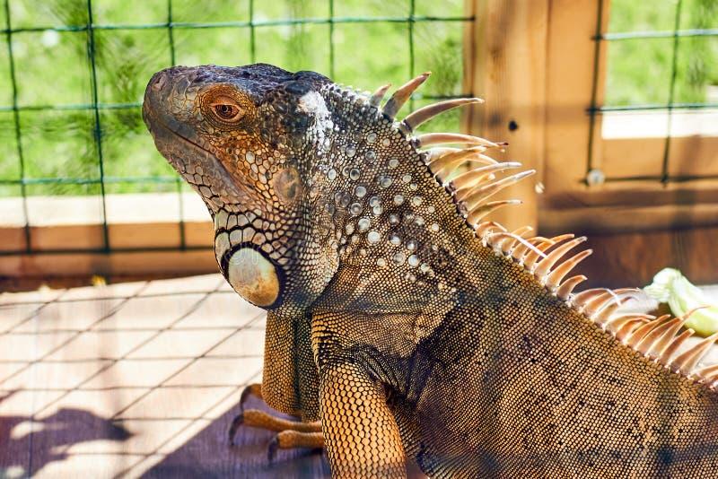 Iguane dans la cage dans le zoo photographie stock