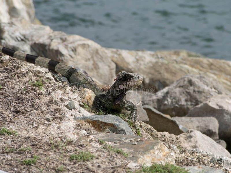 Iguane dans les roches par l'océan photo stock