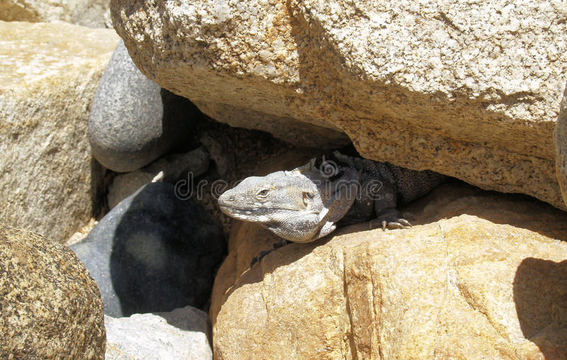 Iguane dans Los Cabos Mexique image libre de droits