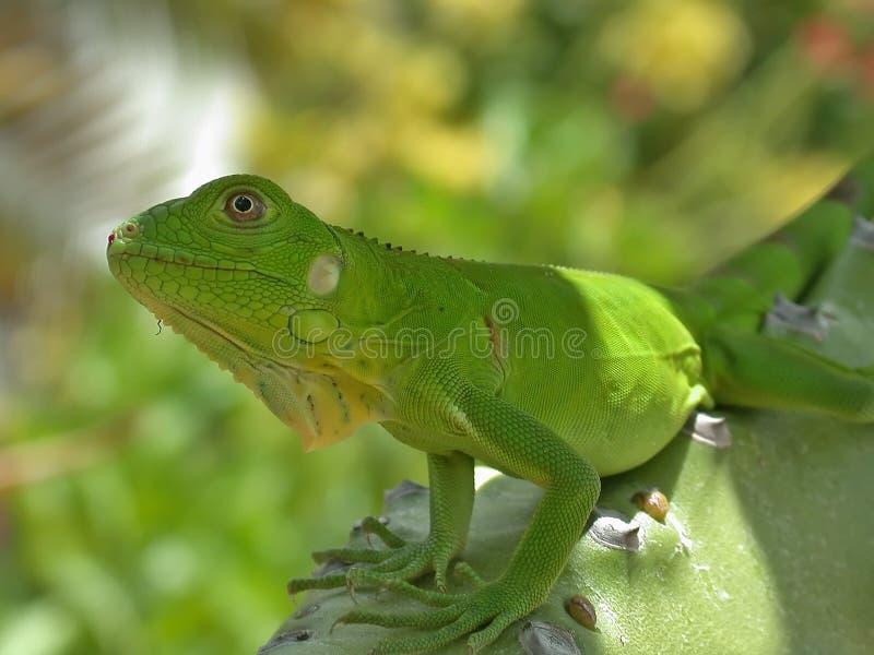 Iguane de chéri photographie stock