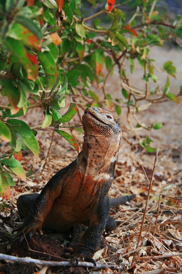 Iguane de cordon images libres de droits